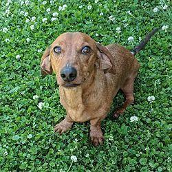 Pin By Kelly Pets On Dachshund Dachshund Weenie Dogs Dachshund Dog