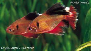 Image Result For Long Fin Serpae Tetra Aquarium Fish Fish Tropical Fish