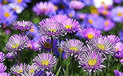 Growing Asters How To Grow Aster Flowers In Your Garden Aster Flowers Aster Spp Add Color To The Autumn La In 2020 Aster Flower Autumn Landscape Michaelmas Daisy