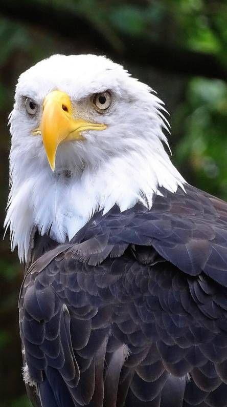Eagle Wallpaper 4k Iphone Mywallpapers Site Eagle Wallpaper Animal Wallpaper Eagle Images Cool eagle wallpaper 3d