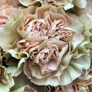 Dusty Pink Carnations Bulk Flowers Fiftyflowers Carnation Flower Pink Carnations Carnations
