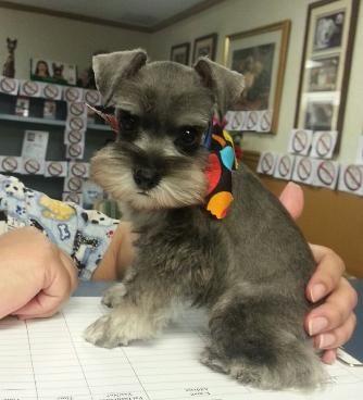 Miniature Schnauzer Puppies For Sale Gainesville Fl Schnauzer Puppy Miniature Schnauzer Puppies Schnauzer