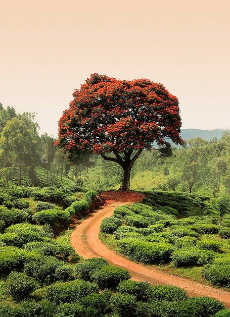 Fototapete »Roter BaumHügel Sri Lanka«, BlueBack, 2 Bahnen, 183 x 254 cm