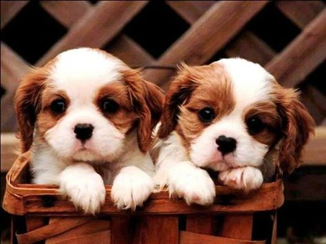 2 Brown And White Puppies King Charles Cavalier Spaniel Puppy Cute Puppy Wallpaper Puppies
