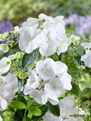 Hortensja Runaway Bride Zostala Roslina Roku 2018 Na Miedzynarodowej Wystawie Chelsea Flower Hydrangea Flowers Plants