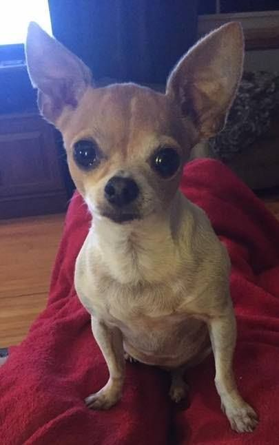 Lost Dog Lake City Chihuahua Female Date Lost 04 10 2019 Dog S Name Peanut Breed Of Dog Chihuahua Gender Female Closest Inte Losing A Dog Dog Ages Dogs