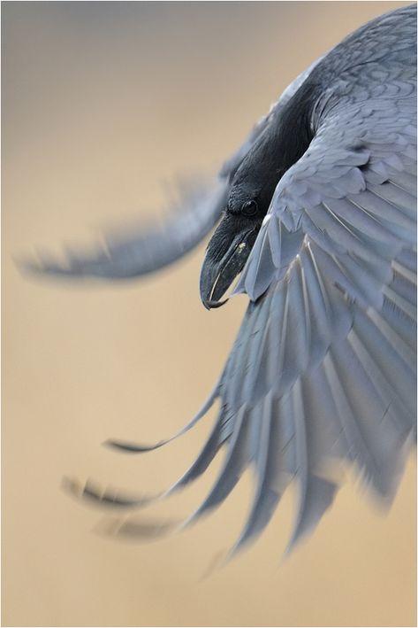 """Schöner Schuss eines Raben im Flug. Federbusch am Schnabel, schimmern in Federn, spitze Flügel, scheint raven werden (statt Luft) Größe, mit einer gebogenen (anstatt gerade Krähen) Schnabel, aber ich weiß nicht, ob die Raben jemals einen krummen Schnabel haben. Der Fotograf berichtet die """"gluck"""" Sound eines Raben (nicht die """"caw"""" einer Krähe)."""