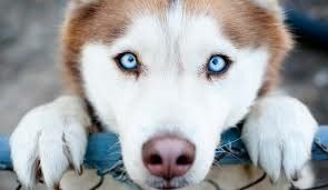 Blue Eyed Tan Husky Cute Animals Cute Dogs Puppies