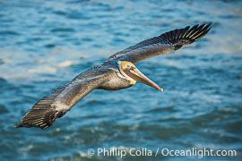 Brown pelican flying over waves and the surf, Pelecanus