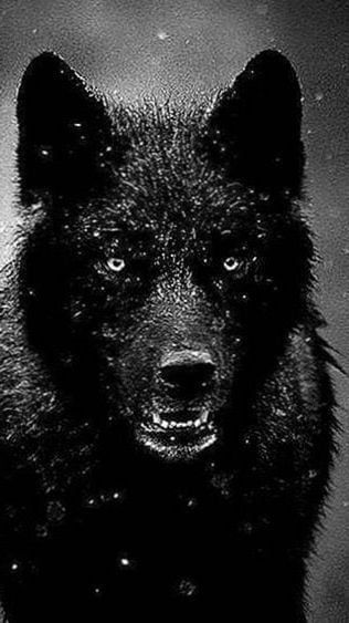 Black Wolf Hd Wallpapers For Iphone Wolf Wallpaper Iphone