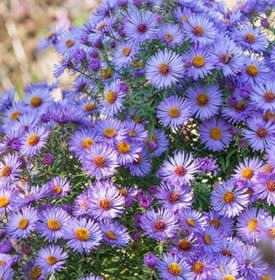 Growing Asters Planting Caring For These Fall Flowers Garden Design Fall Flowers Garden Garden Design Magazine Flower Garden Design