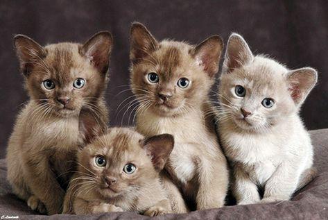 Burmese Kittens Cute Cats Cats And Kittens