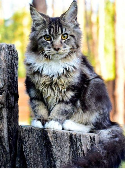 European Black Silver Mainecoon In Milwaukee Wisconsin Hoobly Classifieds Maine Coon Maine Coon Cats Coon