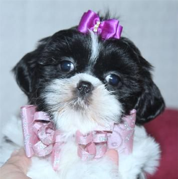 Pin On Maltipoo Puppies For Sale