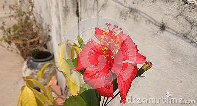 A Lovely Looking Red Jasmine Flower Bloomed In The Summer Morning Jasmine Flower Blossom Bloom