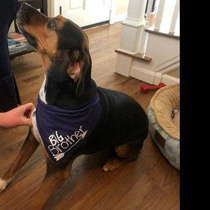 Emotional Support Animal Dog Pet Bandana