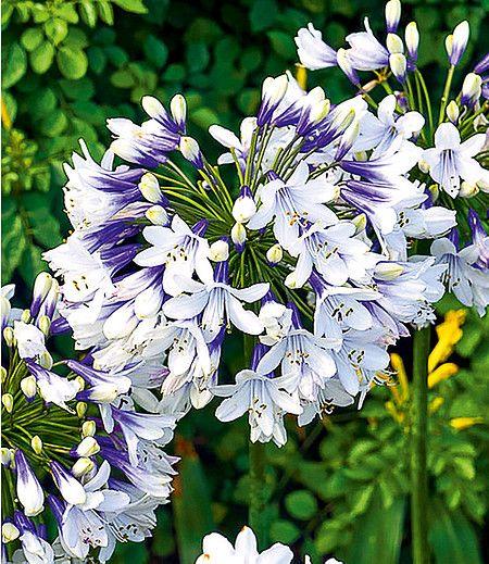 Agapanthus Twister 1 Knolle Schmucklilie Lilien Pflanzen