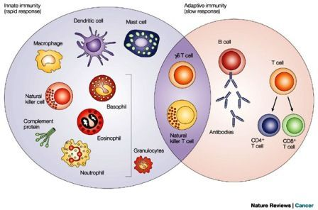 Cells involved in Immune system How lymphocytes and antigen