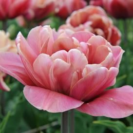 Double Late Tulip Bulbs Angelique Fall Flower Bulbs Eden Brothers Tulip Bulbs Bulb Flowers Planting Tulips