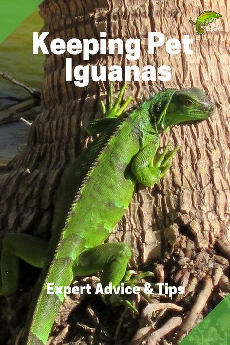 Pet Iguanas Everything You Need To Know Pet Lizards Pet Care Pets