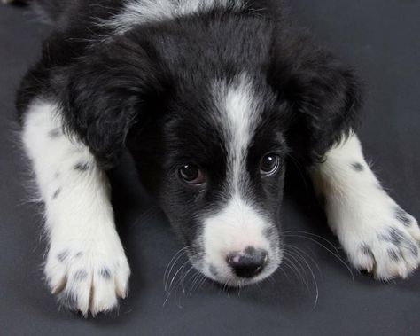 Baby Dog Border Collie Puppy New Into Our Rescue Group This Week