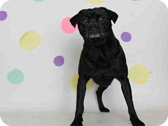 Chug Dog For Adoption In Modesto Ca Adn 819300 On Puppyfinder