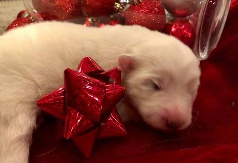Samoyed puppy for sale in KEARNEY, MO. ADN-57674 on ...