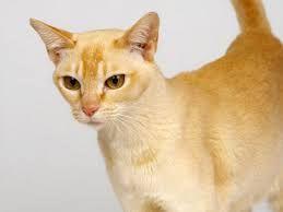 Ceylon Cat Sri Lanka Singapura Cat Cat Breeds Inspirational Cats
