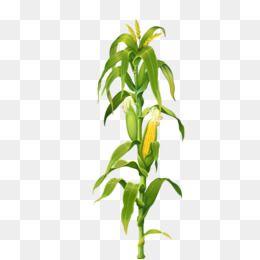 Corn Clipart Corn Corn Stalks Corn Leaves Plant Food Green Yellow Stalks Leaves Maize Clipart Stalks Clipart Picture Clipart Corn Stalks Plant Clips Corn Plant