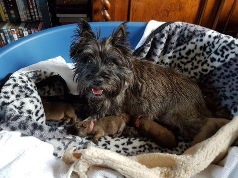 Cairn Terrier Puppies Cairn Terrier Puppies Cairn Terrier