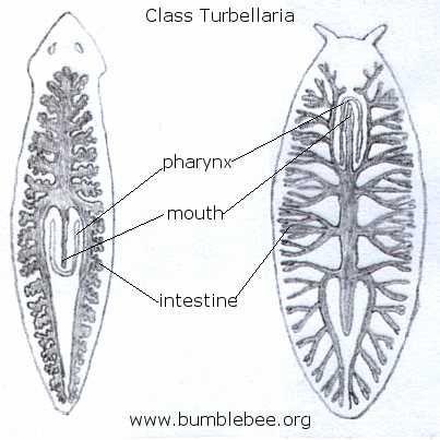 Viermii plaţi (Platyhelminthes) | Itinerarii pontice, Anatomie platyhelminthes