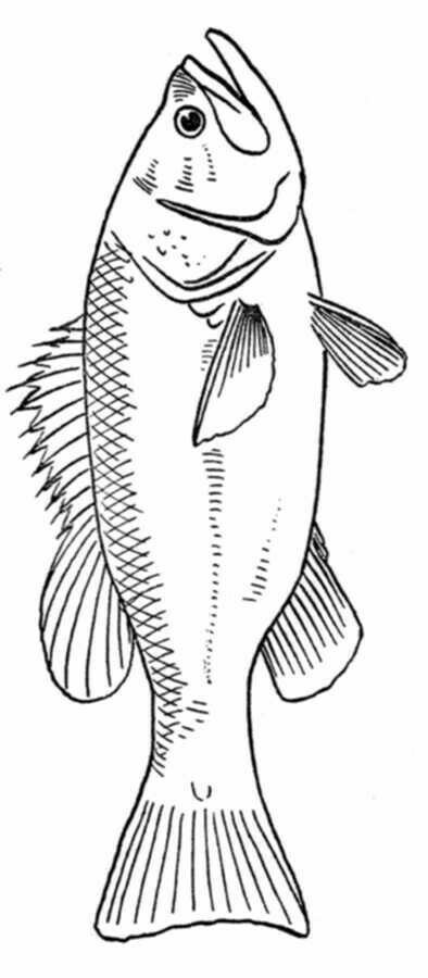 This is best Bass Fish Outline #18252 Free Coloring Pages for your - best of catfish coloring page