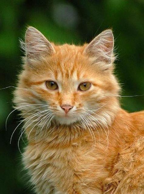 Orange Kitten Portrait By Mmr2001 Orange Kittens Kittens
