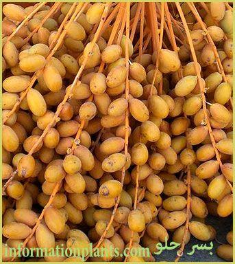 بسر حلو التونسي قسم التمور مع الصور قسم التمور انواع الاسماك مع الصور الموقع الزراعي ومنوعات اخرى Vegetables Food Beans