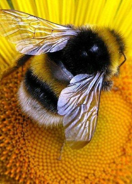 This 60 Second Timelapse Revealing The First 21 Days Of A Bee's Life Is Hypnotising - Rettet die Bienen/Hummeln. Save the Bees / Bumblebees. Amazing Animals, Animals Beautiful, Animals And Pets, Cute Animals, Yellow Animals, Colorful Animals, Nature Animals, I Love Bees, Bees And Wasps