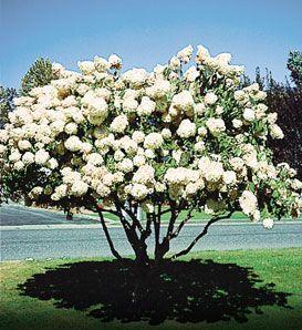 When to prune flowering trees shrubs hydrangea gardens and when to prune flowering trees shrubs hydrangea gardens and hydrangea paniculata mightylinksfo Gallery