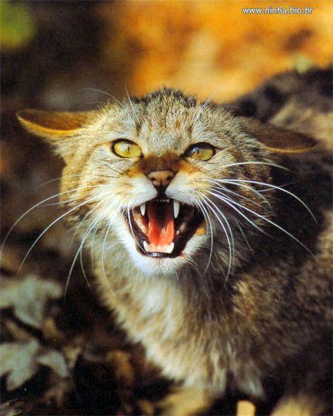 Gato Bravo Nomes De Gatos Anatomia Do Gato Gatinhos Malhados