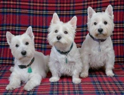 West Highland White Terriers What S Good About Em What S Bad About Em In 2020 Cute Dogs Cute Dog Wallpaper Dog Wallpaper