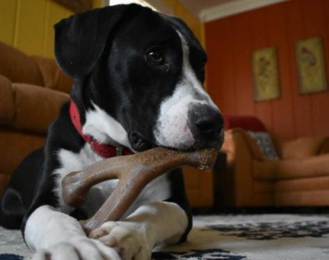 11 Long Lasting Chews For Dogs Who D Chew Through Drywall Dogs