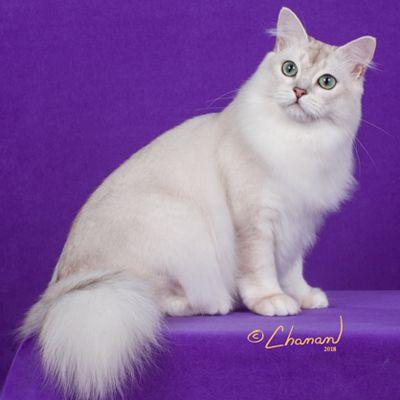Fbrl Cat Breeders Burmilla Breeders Burmilla Burmilla Cat Cat Breeder