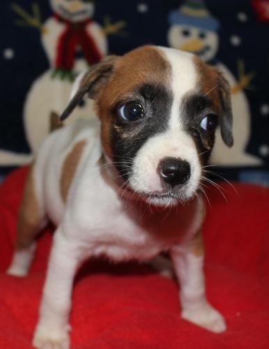 Nell American Bulldog Miami Fl American Bulldog For Sale