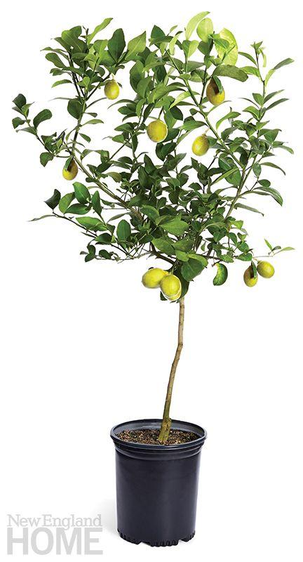 A City Dweller S Guide To Indoor Trees New England Home Magazine Meyer Lemon Tree Meyer Lemon Tree Indoor Lemon Tree Potted
