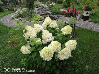 Hortensjowy Zawrot Glowy Nawozenie Hortensji Czym Jak I Kiedy Plants Garden