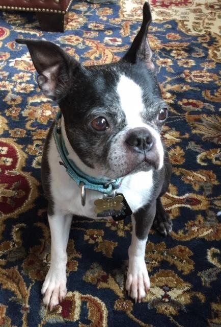 Adopt Cleo On Boston Terrier Rescue Boston Terrier Terrier