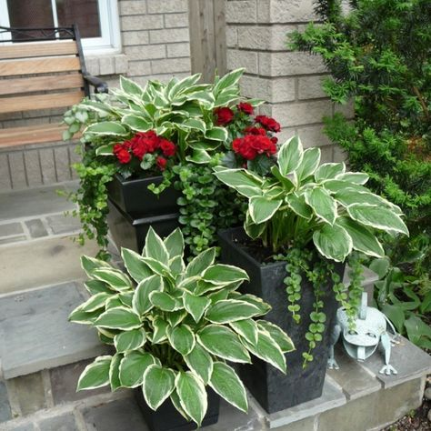 Variegated hosta on containers: do