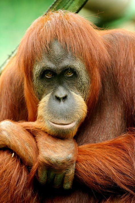 Orangutan Photograph Untitled by Simon Rodriguez