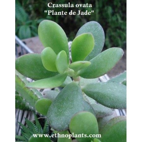 Plante Porte Chance Plant D Arbre De Jade Crassula Ovata