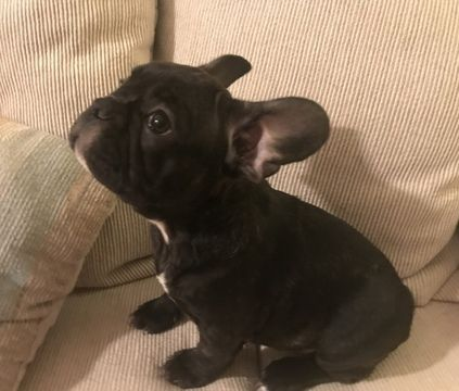 French Bulldog Puppy For Sale In Charleston Sc Adn 69478 On