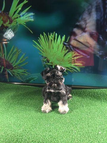 Schnauzer Miniature Puppy For Sale In Blountville Tn Adn 67092 On Puppyfinder Com Gender Ma Miniature Puppies Puppies For Sale Miniature Schnauzer Puppies