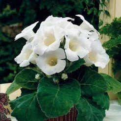 Gloxinia Flower Seed Sinningia speciosa Beautiful Bonsai Houseplant Potted Plant
